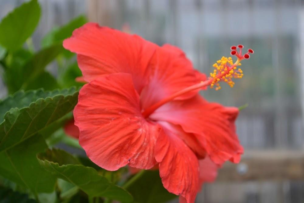 Hibiscus: hoa râm bụt