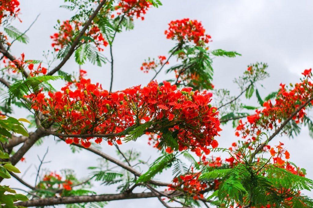 Phoenix-flower: hoa phượng