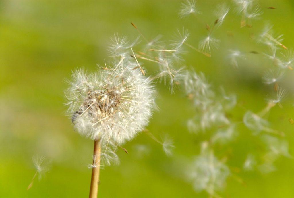 dandelion: hoa bồ công anh