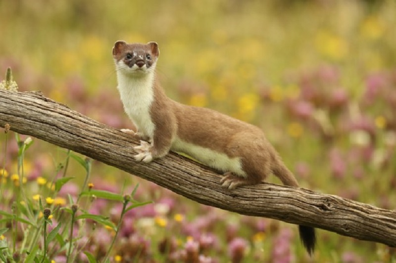 weasel: con chồn